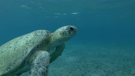 follow shot : Old male Green sea turtle swim to the surface of water, makes as much breaths and dives to the bottom (Chelonia mydas) Low-angle shot, Follow shot, Underwater shot, 4K  60fps