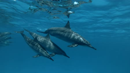 gray's : The family of Spinner Dolphins is separated from the a pod (Underwater shot, 4K  60fps)
