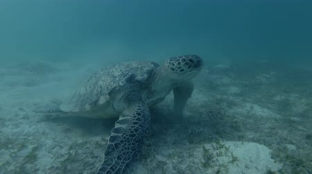 reptilia : Green sea turtle on the bottom (Chelonia mydas) Underwater shot, 4K  60fps