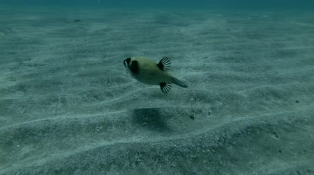 pufferfish : Masked puffer Arothron diadematu swim quickly over sandy bottom. Red sea, Marsa Alam, Abu Dabab, Egypt (Underwater shot, 4K  60fps)