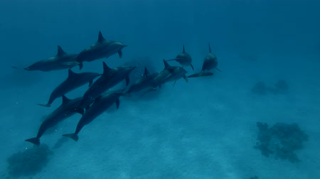 delfín : Group of pregnant female Spinner Dolphins swim in the blue water (Underwater shot, 4K  60fps)
