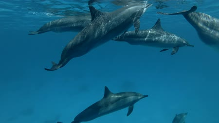 gray's : A pod of Spinner Dolphins swim under the surface of the blue water (Underwater shot, 4K  60fps)