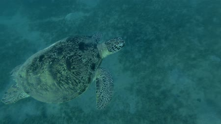 respiração : Green sea turtle in the water column (Chelonia mydas) Follow shot, Underwater shot, 4K  60fps