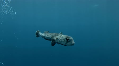 pufferfish : Spotted Porcupine Fish Diodon hystrix swim in the blue water Underwater shot, 4K  60fps