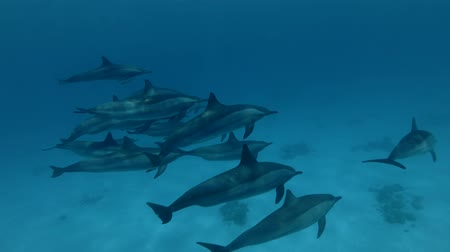 központi : A pod of Spinner Dolphins swim under the surface of the blue water (Underwater shot, 4K  60fps)