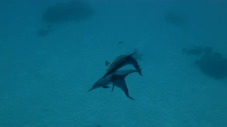 gray's : Dolphins playing in the blue water (Spinner Dolphin, Stenella longirostris) Close-up, Underwater shot, 4K  60fps