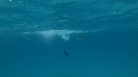 gray's : Group of Spinner Dolphins playing under the surface of the blue water (Underwater shot, 4K  60fps)