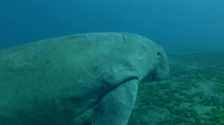 sea cow : Dugong slowly swim away from the place of feeding Dugong or Sea Cow, Dugong dugon) Close-up, Underwater shot, 4K  60fps
