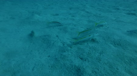 banded : Yellowfin Goatfish (Mulloidichthys vanicolensis) is fed on a sandy bottom. Red sea, Marsa Alam, Abu Dabab, Egypt (Underwater shot, 4K  60fps) Stock Footage