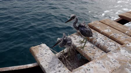 aves : Two fledgling herons stand next to nest on a wooden pier against the backdrop of the sea. Arabian Reef-egret or Western Reef Heron (Egretta gularis schistacea) Stock Footage