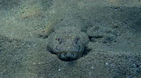 jaszczurka : Front portrait of a Slender Lizardfish (Saurida gracilis) hid in the sand, Red sea, Marsa Alam, Marsa Mubarak, Egypt (Underwater shot)