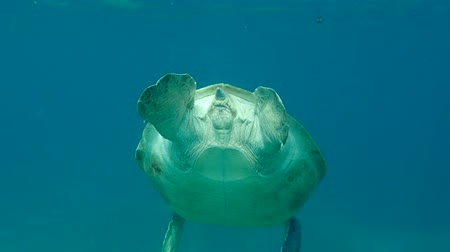 follow shot : green sea turtle (Chelonia mydas) swim to the surface to breathe in and dives to the depth