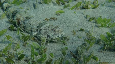 sand bank : Slender Lizardfish (Saurida gracilis) lies on the sand among the seagrass, then swims out of the frame, Red sea, Marsa Alam, Egypt (Underwater view) Stock Footage