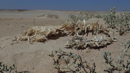 pufferfish : The dried skeleton of Porcupinefish lies on the sand in the desert near the Red Sea. Black-blotched Porcupinefish (Diodon liturosus)