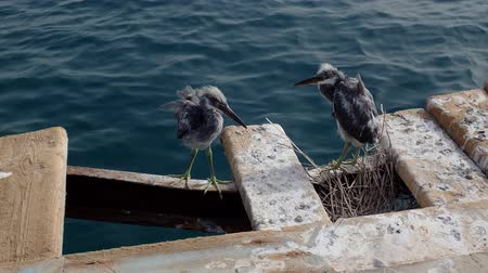 gularis : Two fledgling herons stand next to nest on a wooden pier against the backdrop of the sea. Arabian Reef-egret or Western Reef Heron (Egretta gularis schistacea) Stock Footage