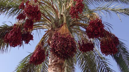 anka kuşu : Ripe red fruits dates swaying to the wind on date palm on the blue sky background
