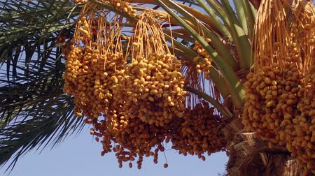 anka kuşu : Ripe yellow fruits dates swaying to the wind on date palm on the blue sky background