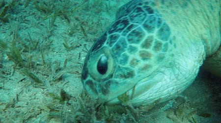 mastigação : portrait of a sea turtle (Chelonia mydas) that eagerly eats seagrass on a sandy bottom Stock Footage