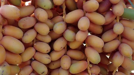 útil : Closeup, Ripe yellow fruits dates swaying to the wind on date palm