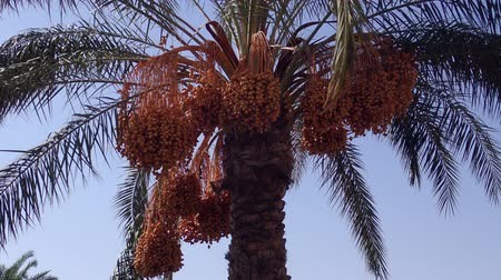 užitečný : Ripe red fruits dates swaying to the wind on date palm on the blue sky background