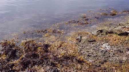 kelp : Liloral zone at low tide. Brown alga in the surf zone