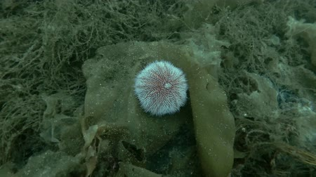 csibész : European edible sea urchin or common sea urchin (Echinus esculentus) sits on the brown algae Laminaria