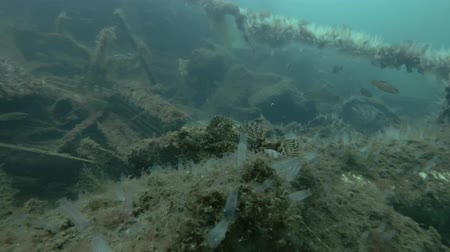 bionomics : Garbage dump underwater in Norwegian Sea in the fjord. Sea Raven or Longhorn Sculpin (Myoxocephalus octodecemspinosus) on the dump Stock Footage