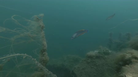 fulllength : Male Cuckoo wrasse (Labrus mixtus) swim near brown algae Cat Gut, Dead Mans Rope or Sea Lace (Chorda filum)