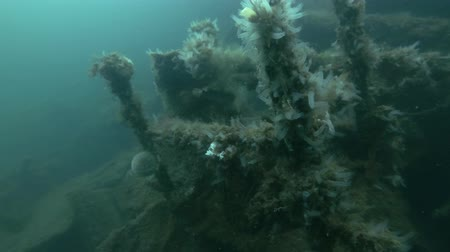 bionomics : Garbage dump underwater in Norwegian Sea in the fjord. Colony ascidian Transparent Sea Squirt or Yellow Sea Squirt (Ciona intestinalis, Ascidia intestinalis) on the dump