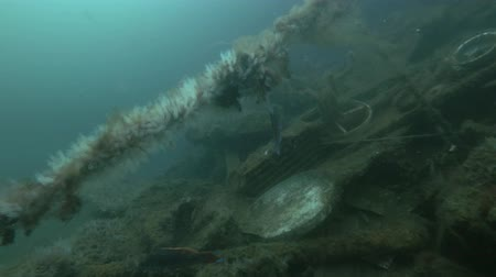 bionomics : Garbage dump underwater in Norwegian Sea in the fjord. Male Cuckoo wrasse (Labrus mixtus) and colony ascidian Transparent Sea Squirt or Yellow Sea Squirt (Ciona intestinalis, Ascidia intestinalis) on the dump