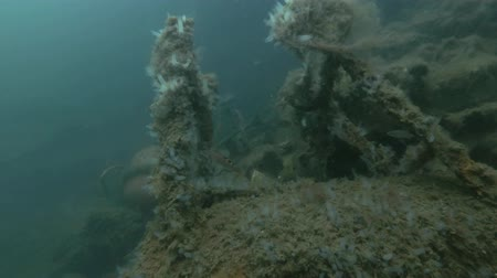 bionomics : Garbage dump underwater in Norwegian Sea in the fjord. Cuckoo wrasse (Labrus mixtus) and colony ascidian Transparent Sea Squirt or Yellow Sea Squirt (Ciona intestinalis, Ascidia intestinalis) on the dump