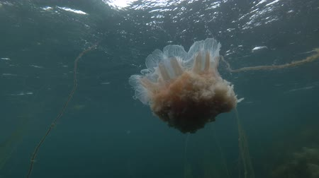 arctica : Lions mane jellyfish (Cyanea capillata, Cyanea arctica) among brown algae Cat Gut, Dead Mans Rope or Sea Lace (Chorda filum) in shallow water Stock Footage