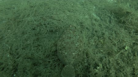 rozgwiazda : Lemon sole (Microstomus kitt) swim over seabed overgrown with brown algae Sea Lace (Chorda filum)