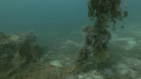 kelp : Atlantic cod (Gadus morhua) swim over seabed overgrown with laminaria and other brown algae Stock Footage