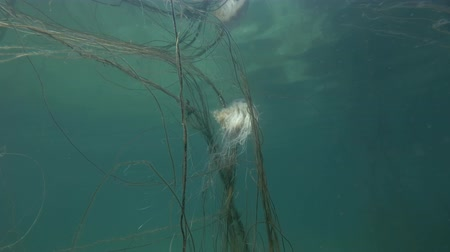 arctica : Lions mane jellyfish (Cyanea capillata, Cyanea arctica) caught tentacles for brown algae Cat Gut, Dead Mans Rope or Sea Lace (Chorda filum) in shallow water