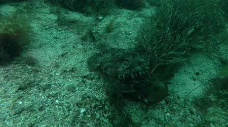 sapo : Monkfish or Angler fish (Lophius piscatorius) lies on the seaweed Stock Footage