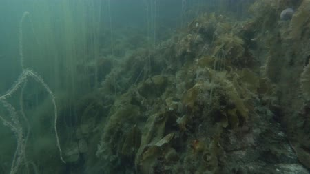 csibész : underwater landscape, seabed overgrown with brown algae Laminaria and Cat Gut, Dead Mans Rope or Sea Lace (Chorda filum) Laminaria