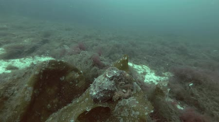 lesser : Northern octopus, Horned octopus or Curled octopus (Eledone cirrhosa) sits on the Laminaria Stock Footage