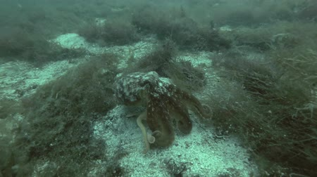 kelp : Northern octopus, Horned octopus or Curled octopus (Eledone cirrhosa) goes down the bottom then swim away Stock Footage