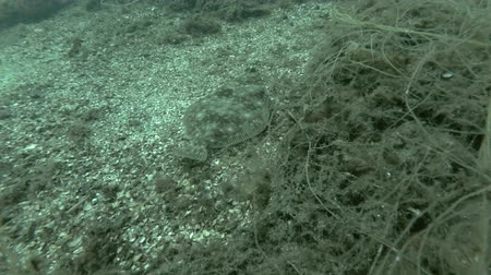 single shot : European plaice (Pleuronectes platessa) swim over seabed overgrown with brown algae