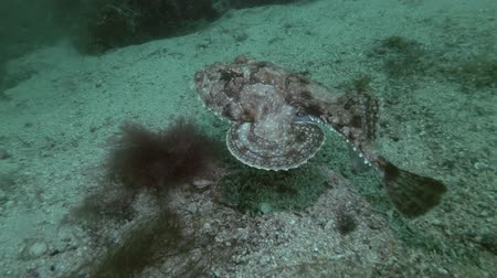 kurbağa : Monkfish or Angler fish (Lophius piscatorius) lies on the sandy bottom then swims away