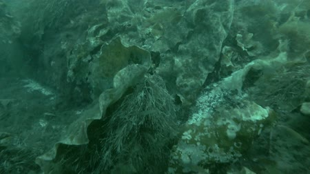 kelp : underwater landscape, seabed overgrown with Laminaria and Sea Lace (Chorda filum)