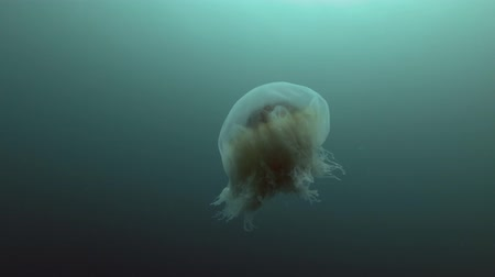 arctica : Lions mane jellyfish (Cyanea capillata, Cyanea arctica) swim in the blue water