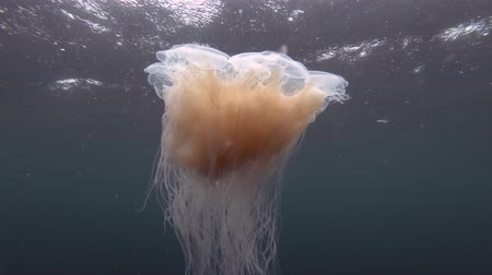 arctica : Lions mane jellyfish (Cyanea capillata, Cyanea arctica) swim in the blue water under surface in rain Stock Footage