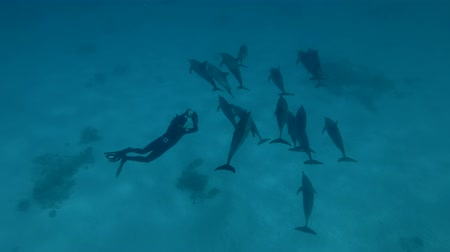 gray's : Freediver swims near a pod of Spinner Dolphins and photographs of her (Underwater shot, 4K  60fps)