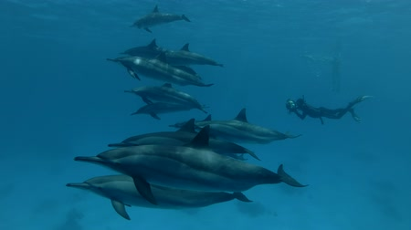 oceano pacífico : Freediver swims near a pod of Spinner Dolphins and photographs of her (Underwater shot, 4K  60fps)