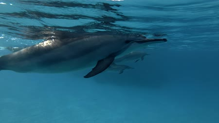 dolphin : Stenella longirostris swims in the blue water. Underwater shot, Low-angle shot