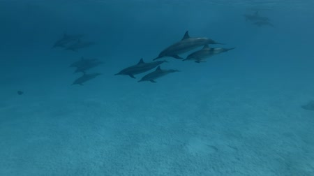 delfín : A pod of Spinner Dolphins - Stenella Longirostris Swims