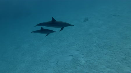 gray's : Baby dolphin with mom swims in the blue water over the sandy bottom. Spinner dolphins - Stenella longirostris