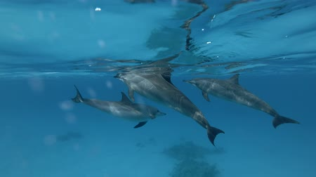 bruinvis : Three Spinner Dolphins - Stenella Longirostris Swims Onderwaterfoto, schot in de lage hoek Stockvideo